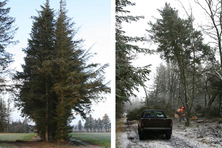 flisning-stort-træ1