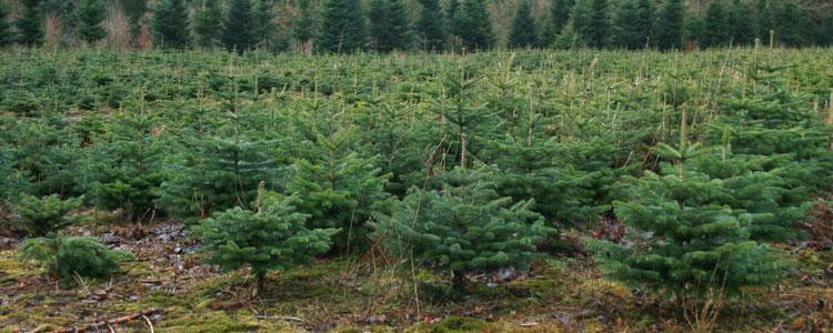 juletræer1