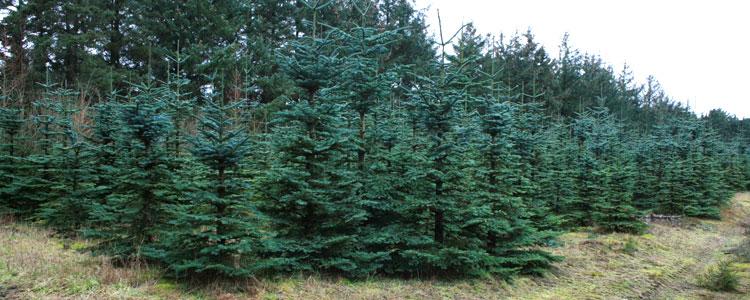 juletræer2